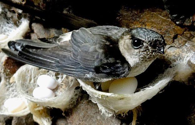 Khám phá bí mật về loài chim yến
